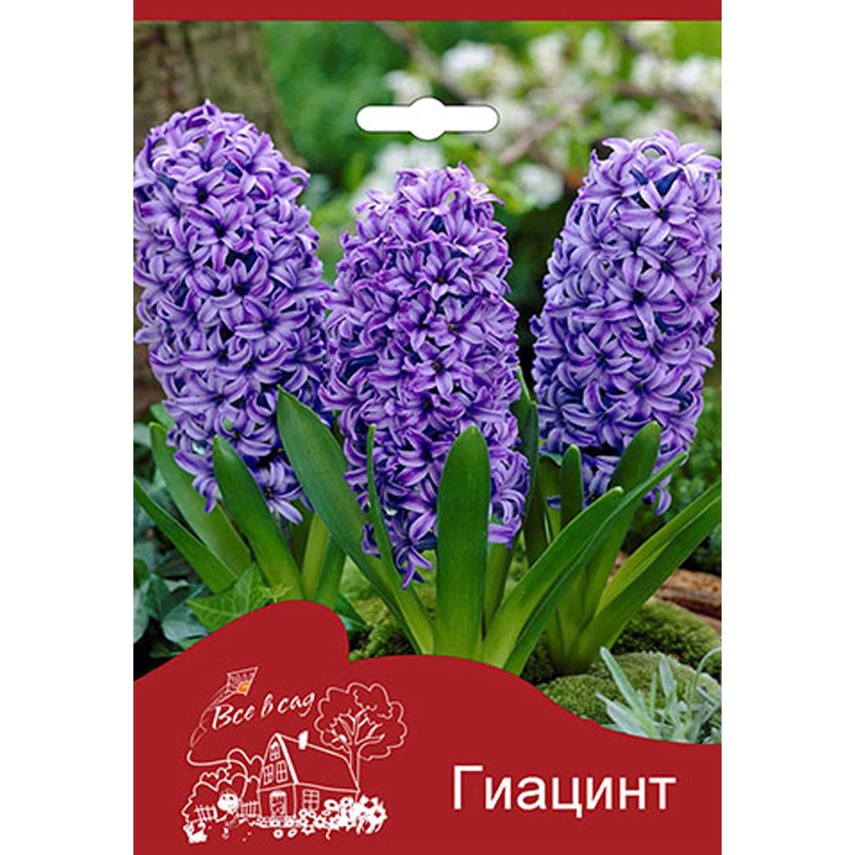 Хризантемы купить, луковичные цветы купить интернет магазин